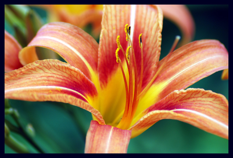 A Daylily at North Bend Plantation