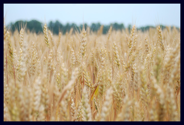 A Field of Wheat at North Bend Plantation